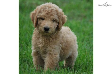 goldendoodle puppy for sale near west palm florida