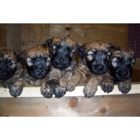 wheaten terrier puppies ohio puppies for sale soft coated wheaten terrier soft coated wheaten terriers wheatens