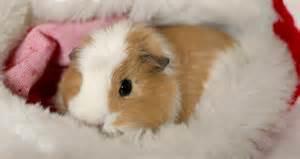 Cute baby guinea pigs