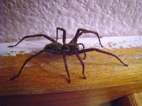 Spiders In House by File House Spider Side View 01 Jpg Wikimedia Commons
