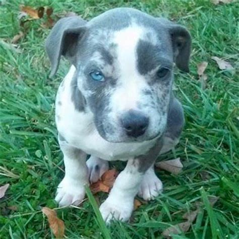 merle pitbull puppies blue merle pitbull search puppy blue merle pitbull and