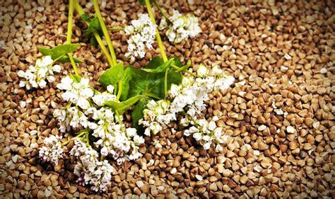 come cucinare grano saraceno grano saraceno come si cucina