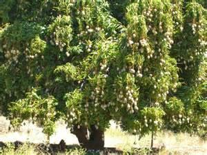 Tree Fruit Picker - mango tree digital radio central