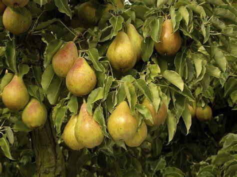 2 fruit trees in one pear tree multi variety fruit tree pear 5 varieties