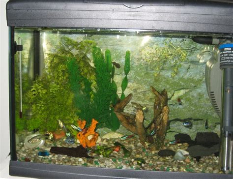 aquascape fish imports poecilia reticulata guppy foto di aquascape fish imports