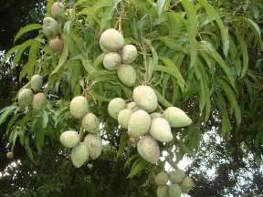 mango tree fruiting mangifera indica indian mangos on a tree domain