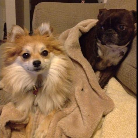 boston terrier pomeranian pomeranian and boston terrier bff s pomeranian pintere