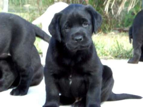 labrador puppies for sale florida black labrador puppies for sale in florida kodiak