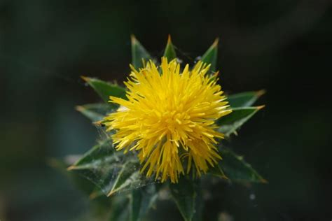 seed of the week safflower growing with science blog