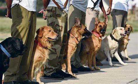 golden retriever puppies cost in delhi adopt a golden retriever in delhi photo