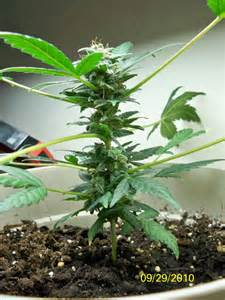 Flowering Weed Plants - autoflowering cannabis blog
