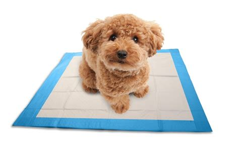how to a to use puppy pads ask a trainer what s the simplest way to potty iheartdogs