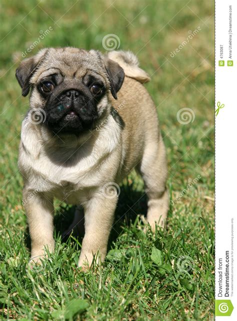 nature of pug pug royalty free stock photography image 4763087