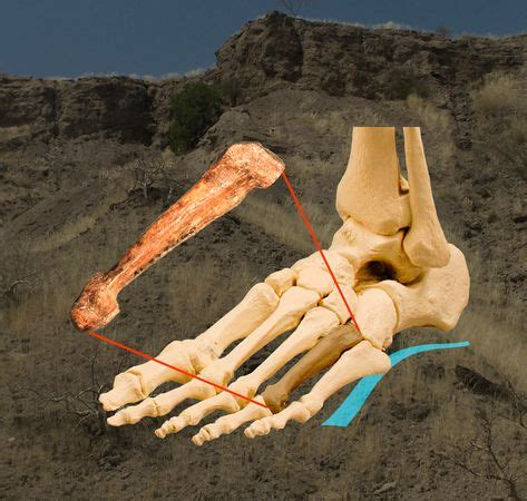 """""""lucy"""" was no swinger, walked like us, fossil suggests"""
