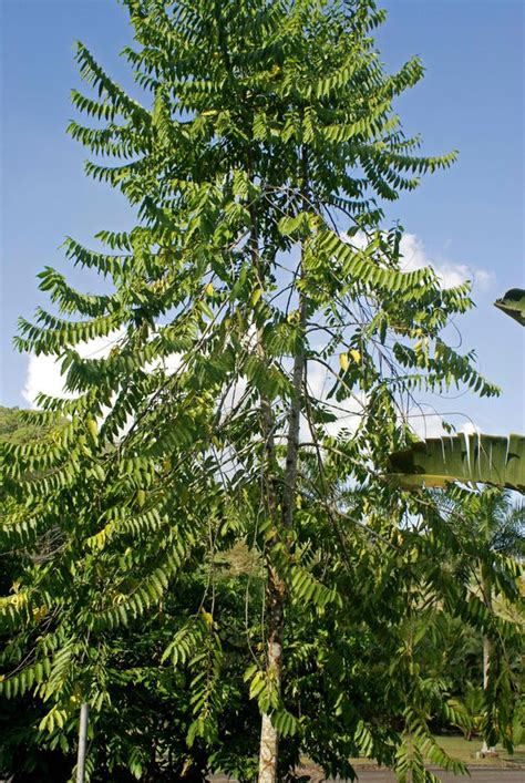 what is the most fragrant fir tree for christmas ylang ylang trees can grow up to 40ft the tree is also called the fragrant cananga macassar