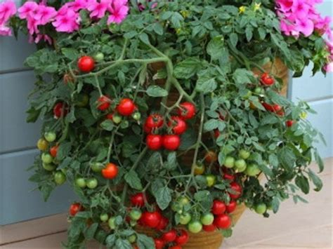 patio tomato cherry tomato seeds 18 varieties vegetable seeds