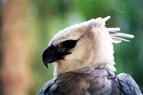 harpy eagle harpia harpyja  explore raptors facts