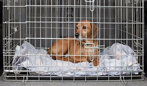 crate training  dog   effective crating tips