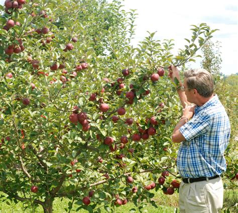 stark nursery fruit trees empire apple apple trees stark bro s