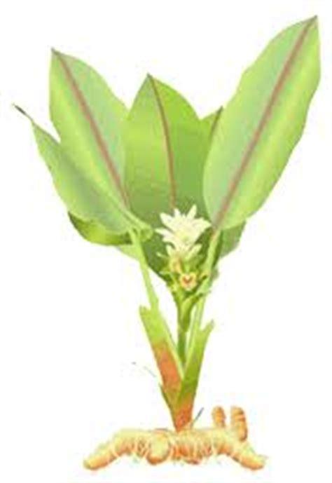 Obat Maag Tradisional Singkong obat maag tradisional aryani23