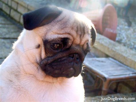 original pug breed pug breeders photograph milo marrinavale sugardaddy pu
