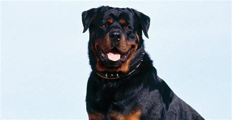 k9 rottweiler rottweiler with strongest bite pressure k9 research lab