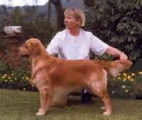 golden retriever price in india bangalore price of golden retriever puppy in bangalore photo