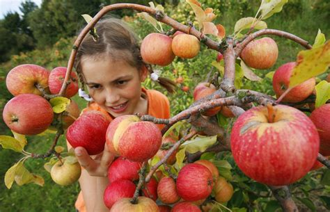 best places to go apple picking near orange county 171 cbs