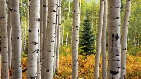 Aspen Background Check Aspen Wallpaper Hd 30462 1920x1080 Px Hdwallsource