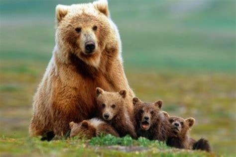 imagenes de leones y osos qu 233 es un oso caracter 237 sticas tipos y h 225 bitat con fotos