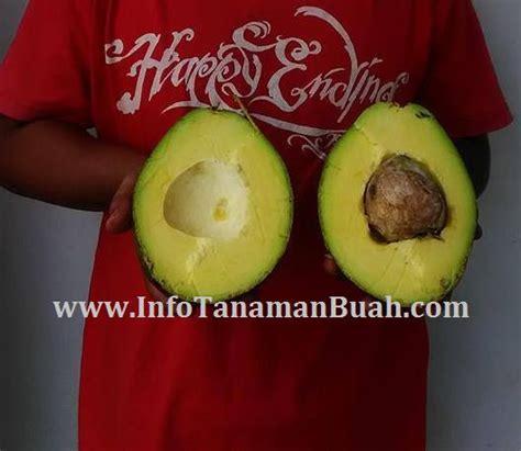 Alpukat Hawai Jumbo jual bibit alpukat kendil jumbo hawai info tanaman buah
