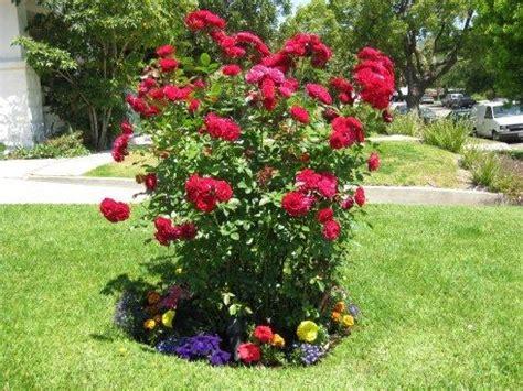 small flower bed ideas crimson red europeana floribunda rose flowers and