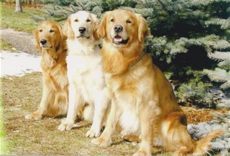 golden retriever for sale in michigan golden retrievers for sale in michigan breeds picture