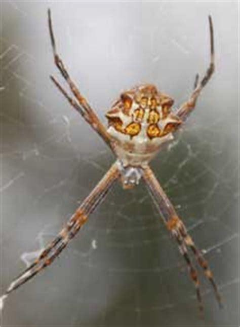 Garden Spider San Diego Silver Garden Spider What S That Bug