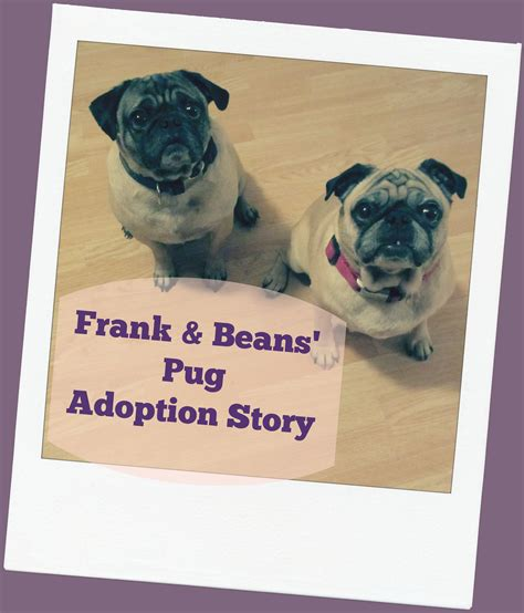 pug beans frank and beans the pugs our adoption story part 1 emily reviews