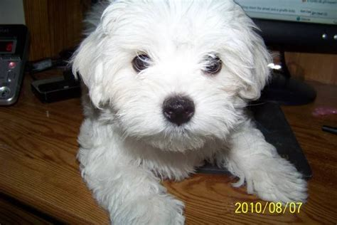 puppies for adoption in michigan pomeranian rescue maltese puppies for sale breeds picture
