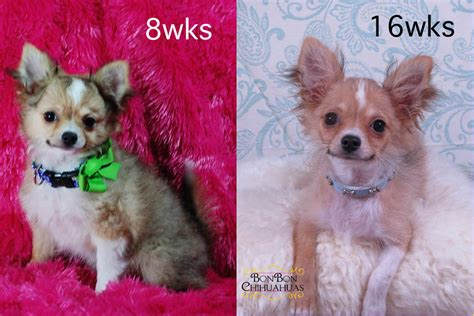 long hair chihuahua hair growth what to expect long hair chihuahua hair growth what to expect 25 best