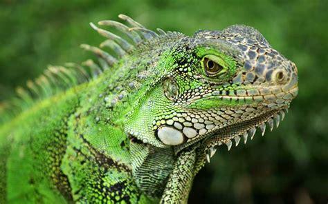 imagenes de iguanas verdes y negras iguana informaci 243 n y caracter 237 sticas