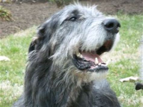 wolfhound puppies for sale wolfhound puppies for sale