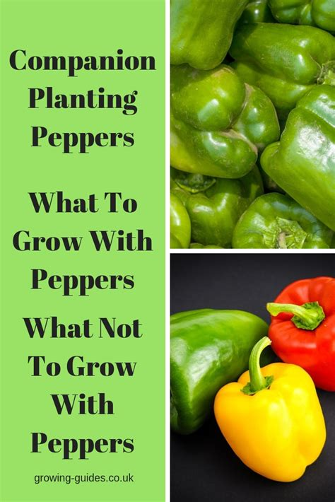 companion planting peppers growing guides