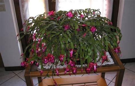 fiori di cactus piante cactus di natale piante grasse