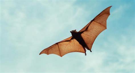bat facts bat pictures