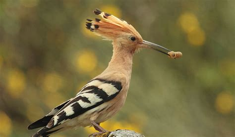hoopoe birds facts information habitat