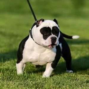 american bully dog characteristic, appearance and picture