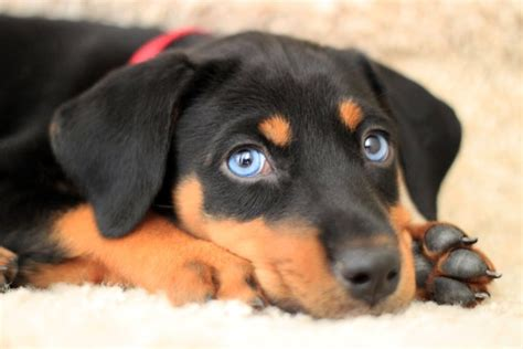 doberman puppies nc 141 best images about doberman mixed on puppy for adoption rottweiler mix