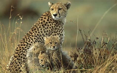 cheetah and cheetah cubs and wallpaper