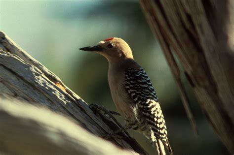 gila woodpecker wikipedia