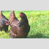 Barnevelder Eggs | 3072 x 1728 jpeg 2224kB