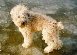 soft coated wheaten terrier puppies for sale 20 best poodle images on standard poodles poodle and collars