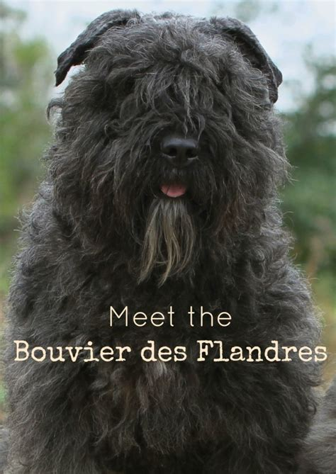 hypoallergenic big dogs bouvier des flandres large breed hypoallergenic